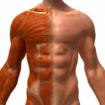 Muscle Hypertrophy: Constant Tension